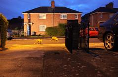 Urban foxes South Bristol, Ian Wade (Disorganised Photographer - Ian Wade - Travel, Wil) Tags: street city urban cars night bristol wildlife wade foxes vixen iann