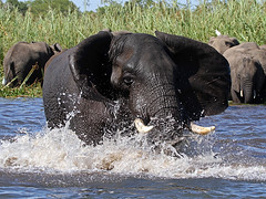 Elephant, Liwonde (Malawi), 26-May-11 (Dave Appleton) Tags: elephant animal mammal african malawi africanelephant loxodonta africana loxodontaafricana liwonde