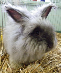 Boy Blue (ixchelbunny) Tags: rescue rabbit bunny bunnies rabbits angora ixchel ixchelbunny