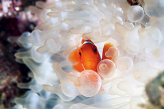 [Free Images] Animals 2, Fish, Clownfish ID:201111030600