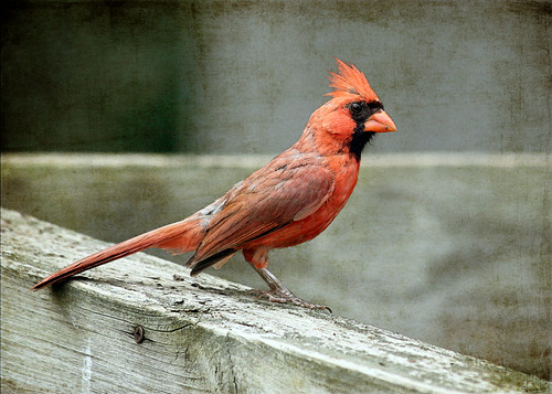 Cardinal by Bailey Rd