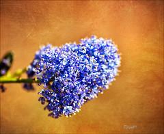 Last blues (Rosane Miller) Tags: blue autumn red england flower macro texture closeup canon bokeh autumncolours sunlit solihull birminghamuk tamron90mm 2011 ceanothusthyrsiflorus canoneos60d creepingblueblossom
