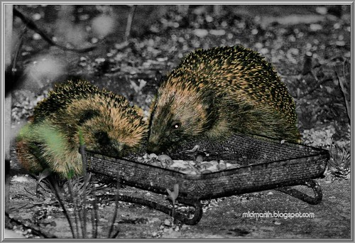 Mother and Juvenile Hedgehog 3a