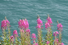 Lake flowers (Elysium 2010) Tags: flowers lake nature landscape epilobium lacduvieuxemosson
