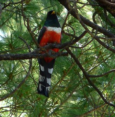 Mountain Trogon Madera (Daveed7) Tags: chihuahua bird mexico madera watching birding parrots eared thickbilled quetzals solipaso