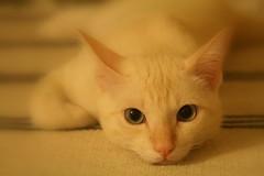 wish u were here :( (MahanMD) Tags: white beauty cat eyes sad malaysia kualalumpur canon400d دلتنگی موچی