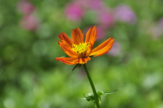 Cosmos flower (e.nhan) Tags: life light flower art nature yellow closeup colorful dof bokeh cosmos backlighting enhan