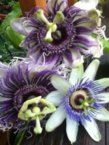 some of my passiflora - Page 2 6158155018_e5cfc77c15