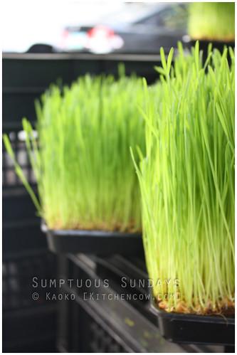 Legazpi Sunday Market: Wheatgrass