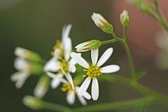 新治市民の森のシラヤマギク(Chrysanthemum, Niiharu Community Woods)