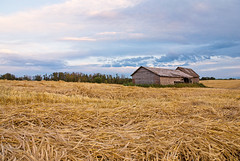 Golden Wheat Field Ready for Harvest (Grapefruit Moon (Barb)) Tags: sky fall abandoned field barn wheat shed harvest alberta weathered
