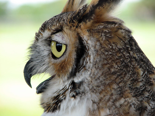Gulliver the Great Horned Owl