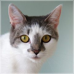Pixie (hehaden) Tags: rescue white face animal cat square grey tabby kitty shorthaired