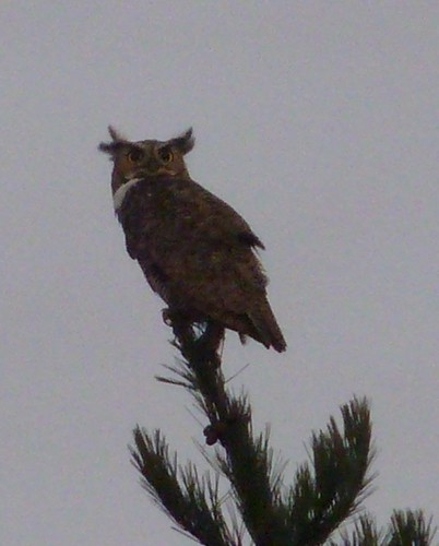 1great horned owl marina chainey, richmond