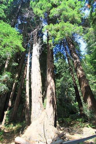 Two trunks attached to a Redwood tree at Muir Woods, San Francisco