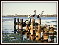 Pelicans on Tuggerah Lakes (kfrombrissie) Tags: pelicans water birds oldjetty toukley augustseptember2011