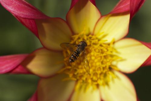 Hornet Feeding