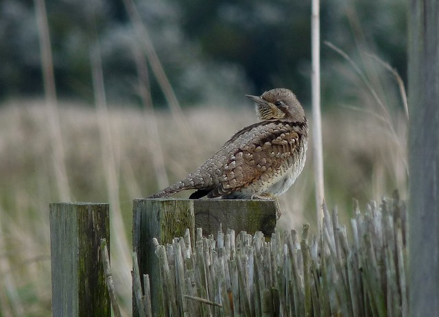 25061 - Wryneck, Newport Wetlands