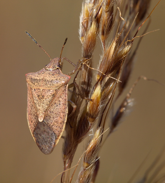A stink bug (Podisus sp.?) on a grass seedhead.