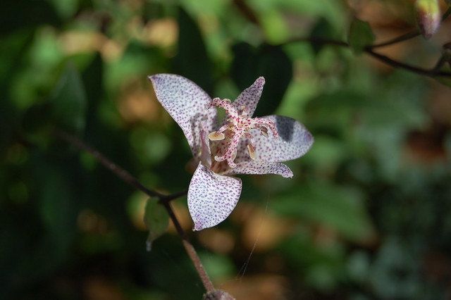 Tricyrtis formosana - Toad Lily