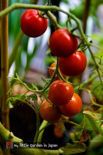 tomato-harvest-3