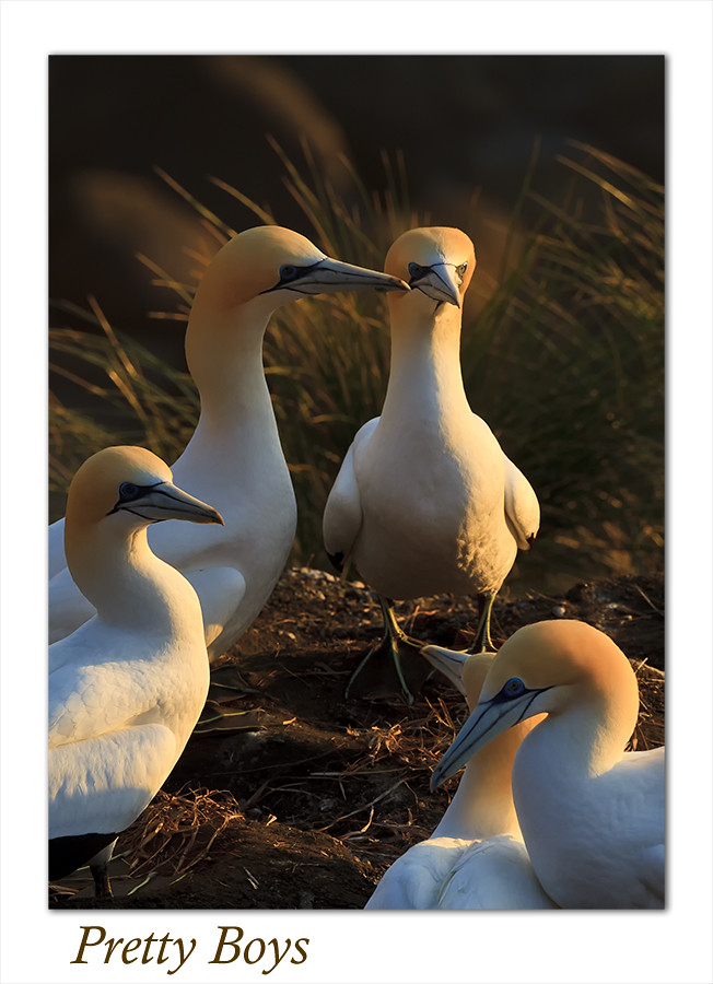 Gannets Galore