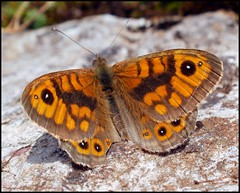 Wall Brown (Kevin Pendragon) Tags: charterhouse wonderfulworldofmacro