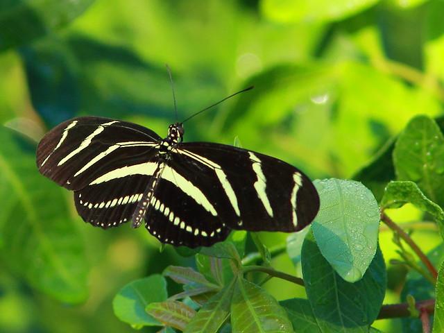 Zebra Heliconian 20110923