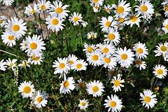 Daisies (Stella Blu) Tags: flowers stella summer white canada floral daisies many blu blumen wildflowers fiori blooming margariten fior nikkor18200 stellablu nikond5000 pregamewinner gamesweepwinner