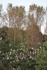 Cranes roosting near Nampo North Korea (Ray Cunningham) Tags: de wildlife north korea du cranes popular repblica nord northkorea core corea dprk coreadelnorte democrtica demokratische  nampo   hermitkingdom raycunningham volksrepublik      raycunninghamnorthkoreaphotography northkoreanphotography koreainpidemokratikuskztrsasg