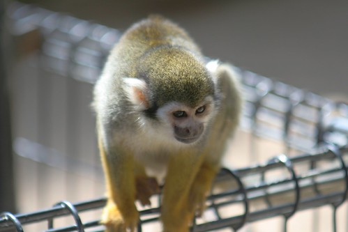 リスザル/Common Squirrel Monkey