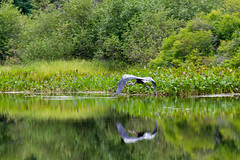 Great Blue Heron (Cuss) Tags: bird heron critter algonquin