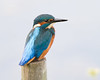 Sitting Pretty (Andrew Haynes Wildlife Images) Tags: bird pole kingfisher perch coventry warwickshire brandonmarsh ajh2008 carltonhide