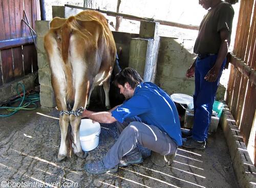 Logan milking Hazel