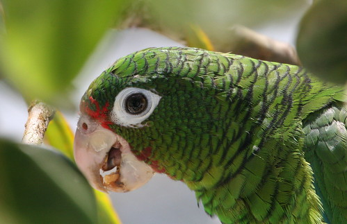 Endangered Puerto Rican Parrot on the Rise - City Parrots -
