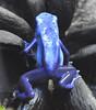 blue frog (wildhog1977) Tags: blue colour green nature animal danger warning jump colours natural legs bright wildlife traitor amphibian frog spots exotic jungle toad tiny species colourful hop poison dart alert metamorphosis slimy deceit poisonous vivarium unpredictable deceitful treacherous backstabbing underhand