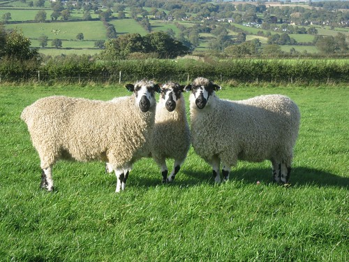 Beautiful sheep at Ilton