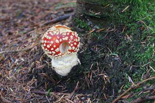 Amanita muscaria - Fly Agaric