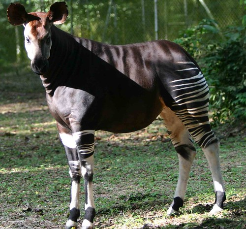 incredible okapi_in Epulu, RFO