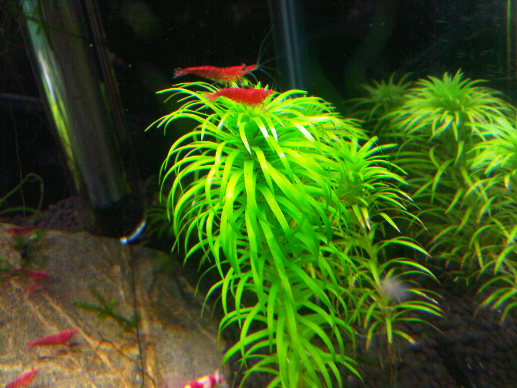 FS: Painted Fire Red Cherry Shrimp