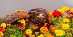 Eagle in the flowers (Tambako the Jaguar) Tags: flowers red orange brown bird yellow germany nikon eagle landed eschede d700 filmtierpark