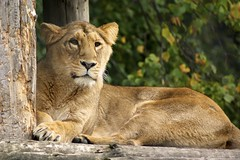 Lioness, Chester Zoo