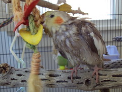 cockatiel after shower II (bondedwithtiels) Tags: pets weblog cockatiel cockatiels wetbird tiels cockatielcare