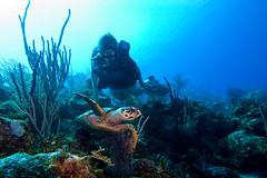 turtle2Oct2-11 (divindk) Tags: underwater turtle scuba diving scubadiving diver cayman littlecayman caymanislands underwaterphotography diverdoug
