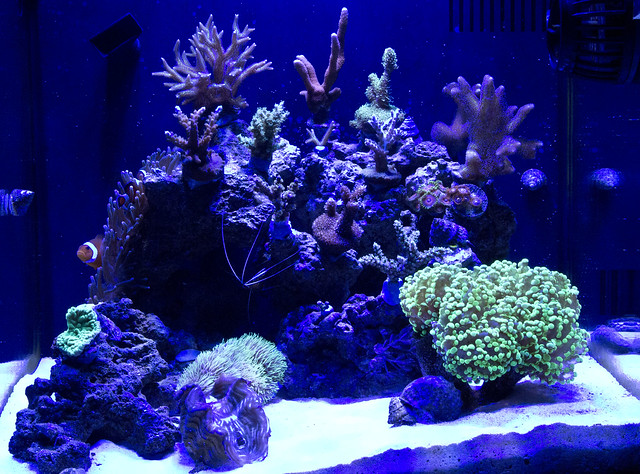 Tron S Sps Legacy Members Aquariums Nano Reef Com Forums