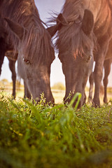 In the Breezy Pasture (laura_bostonthek) Tags: two horses grass farm breeze bucolic pature sunsoaked