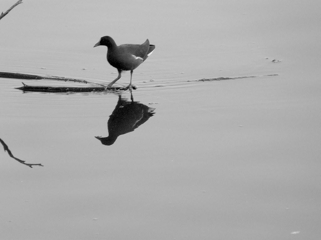 04-10-2011-moorhen-reflection