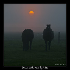 Horses in the mist (pDOTeter) Tags: horse nature animal landscape europe belgium boechout