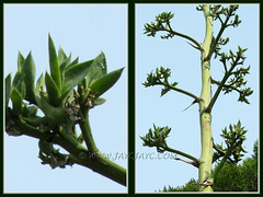 Agave desmettiana (Smooth Agave, Smooth/Dwarf Century Plant) with numerous bulbils on its flower stalk - July 6 2011