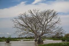 Cienaga de Ayapel (Cordoba-Colombia) 6 (Jorge Gaviria) Tags: tree musgo de mar madera arboles palmeras bog bambu rocas tuneles piedras oceano ruedas castillos sudamerica lagunas suramerica ramas carreta suramrica muzgo carretas chamizos carruajes cienagas